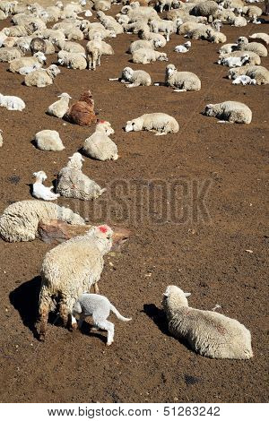 Sheep in Peru,South America