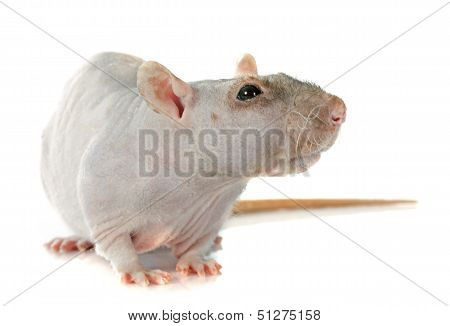 Nude Rat