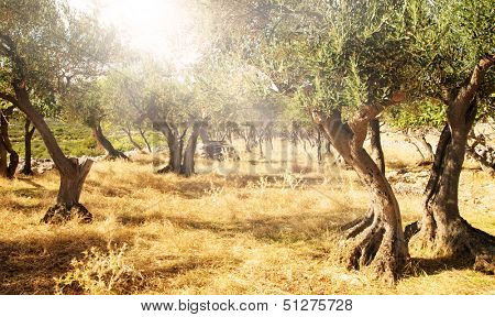 Mediterranean olive field with old olive trees