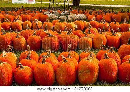 Seven rows of pumpkins in a farmer's field