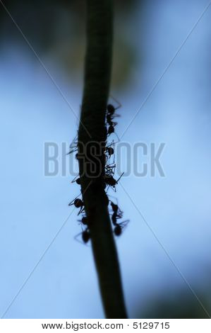 Silhouette Of Ants