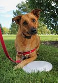 picture of frisbee  - a cute dog in a park during summer with a frisbee  - JPG