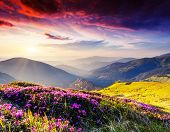 image of night-blooming  - Magic pink rhododendron flowers on summer mountain - JPG