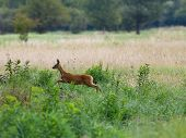 picture of roebuck  - Roebuck jumping in high grass on meadow - JPG
