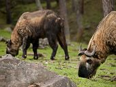 stock photo of mixture  - The takin  - JPG