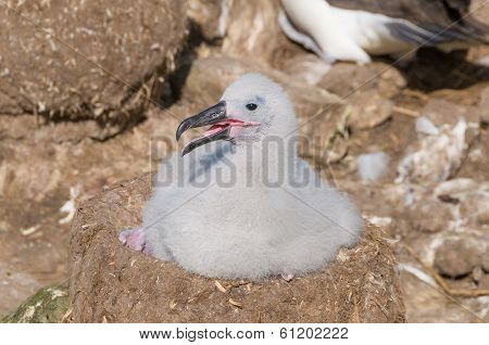 Nesting Black Browed Albatross Chick