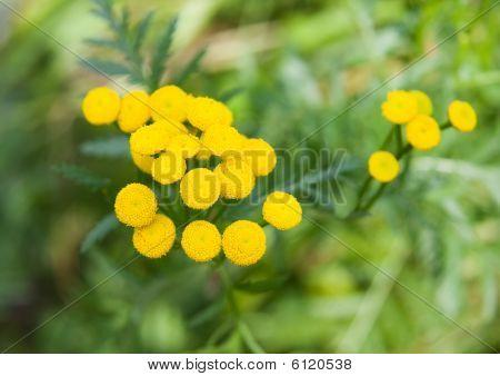 Tansy ( Tanacetum Vulgare )