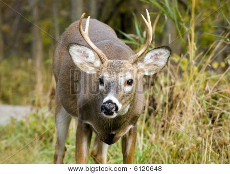 Young Whitetail Buck