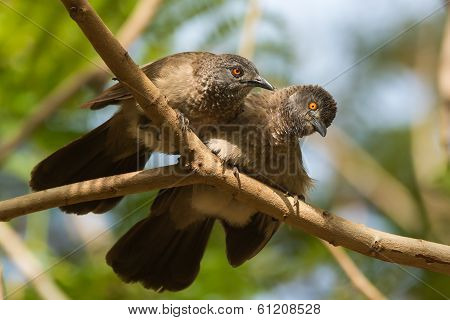 Brown Babblers (turdoides Plebejus) Looking Up From Allopreening