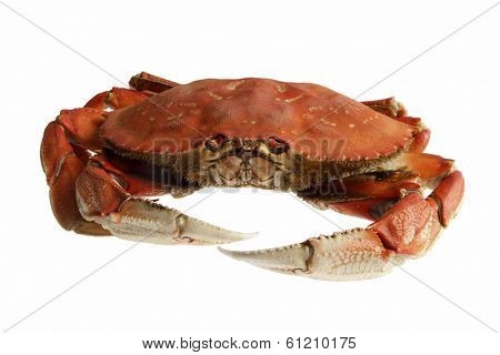dungeness crab on white