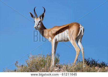 Beautiful Springbok Ram Standing On Ridge In The Kalahari Against Blue Sky
