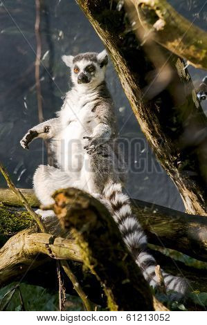 Ring-tailed Lemur (lemur Catta) Sitting In The Sun
