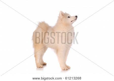 Samoyed Dog Isolated On White Background