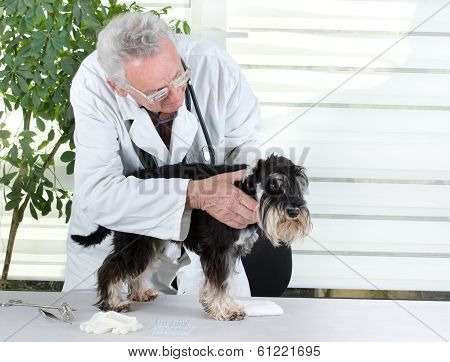 Veterinarian With Miniature Schnauzer