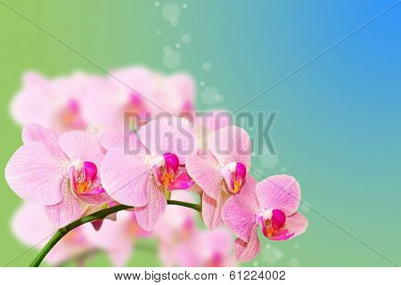 Spotted Pastel Orchid Flowers On Gradient Blurred Summer Background