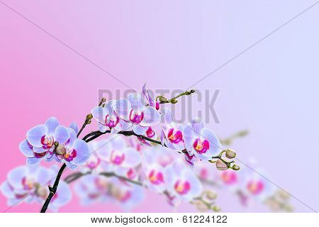 Magic Purple Blue Orchids Flower On Blurred Background