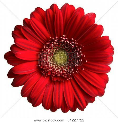 red gerber daisy on white