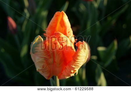 Decorative Multicolored Tulip