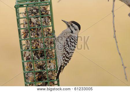 Female Ladder-backed Woodpecker (picoicis Scalaris)