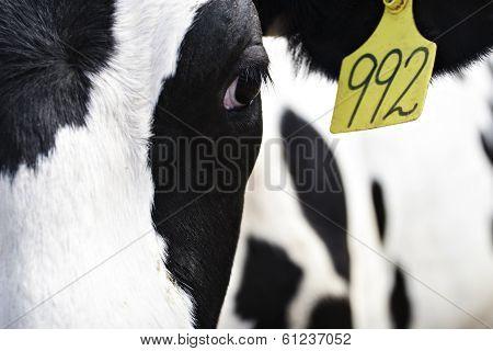 Holstein Heifer