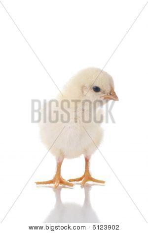 Schattig Chick