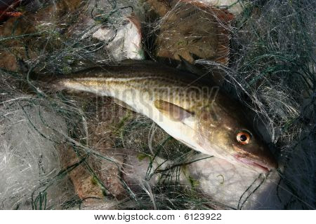 Baltic Sea Cod.