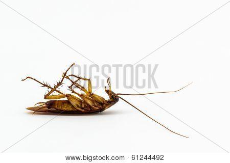 Dead Cockroach.
