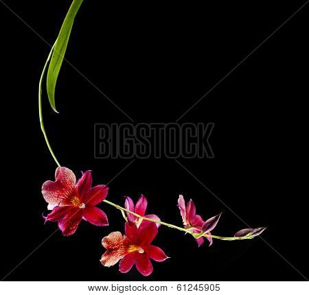Orchid  Burrageara witt copy space isolated on black background