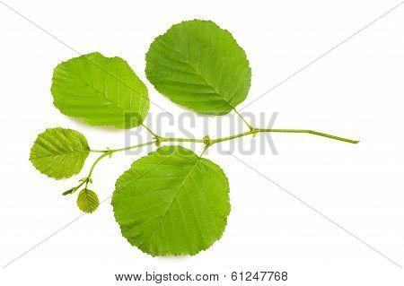 Hazel Leaves