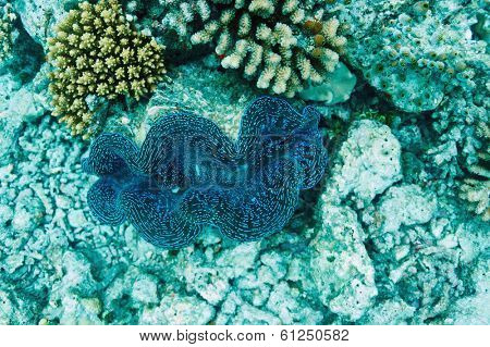 Giant clam (Tridacna gigas)at the tropical coral reef