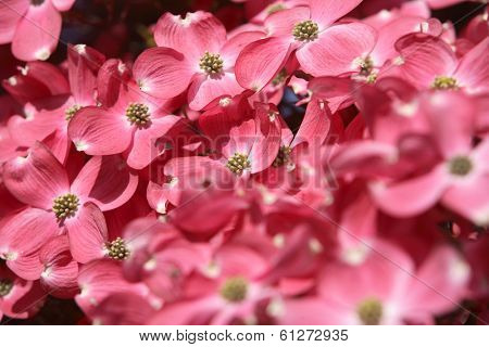 Pink dogwood tree flowering