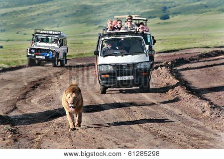 Wild Lion Walking Along Road, Chased By Tourists In Jeeps.