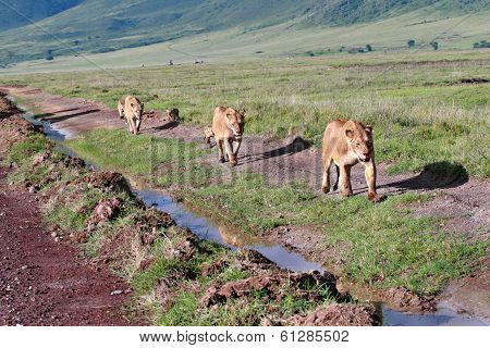 Three Lioness With Cubs, Go Along Road In Wild.