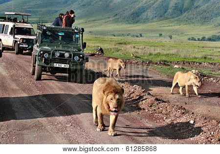Jeep Safari In Africa, Travelers, Tourists Photographed Wild Lions Family.