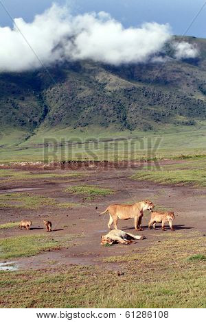 Tanzania Ngorongoro National Park, The Family Of African Lions Wild.