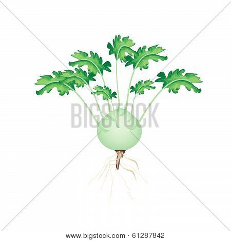 A Fresh Kohlrabi On A White Background