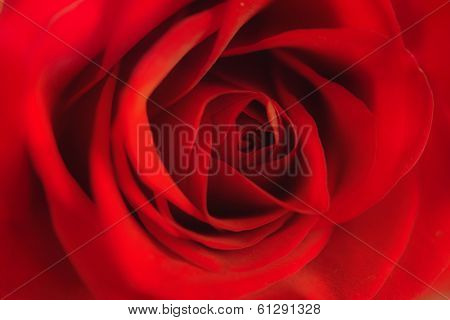 Close up of bright red rose. soft focus