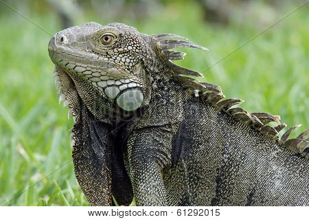 Green Iguana, Aruba, ABC Islands