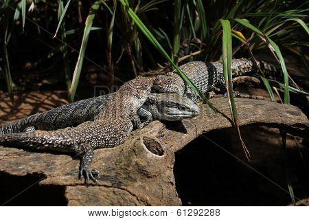 Trio of Lizards