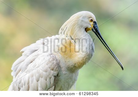 Close Up Of Bird, Eurasian Spoonbill, Platalea Leucorodia, In Br