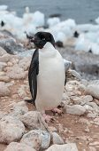 Adult Adele Penguin Standing On Beach