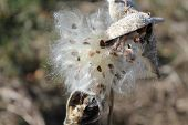 picture of cottonwood  - Cottonwood Tree Seeds Coming Out of the Shell - JPG