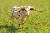 stock photo of texas-longhorn  - Texas Longhorn cattle in a field of green in the Umpqua Valley near Roseburg Oregon - JPG