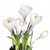 Fresh white crocuses in spring. Easter concept.