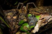 Tarantula, spider at night