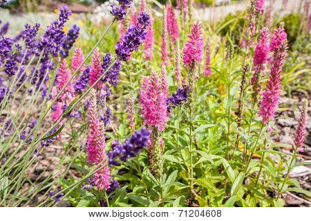 Beautiful Summer Garden With Lavender Blossom