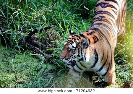 Tiger stalking prey