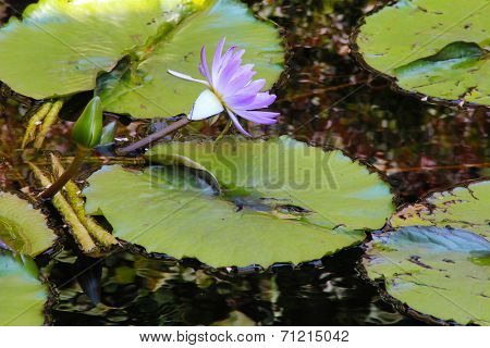 Lily flower on a pond