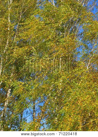 Yellow Autumn Birch Trees On Wind