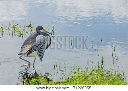 Heron Hunting In Swamp